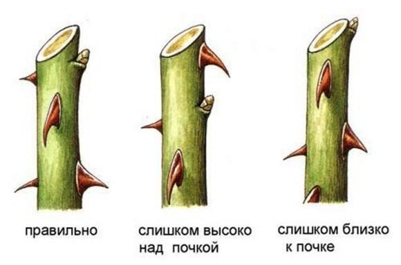 удаление трутовика избавляет растение от паразита