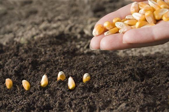 Как правильно сажать кукурузу фото 91