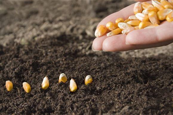 Как сажают кукурузу в поле 48