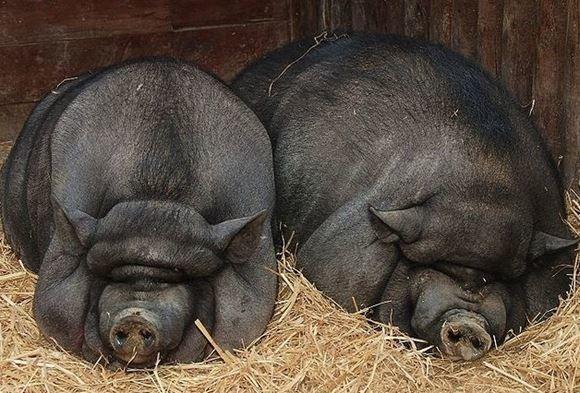 Разведение вьетнамских свиней в домашних условиях видео