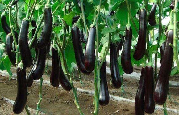Выращивание баклажанов в украине