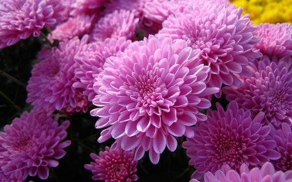 Цветы хризантемы и картинки