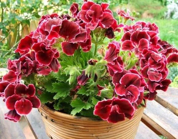 Цветы пеларгония посадка и уход