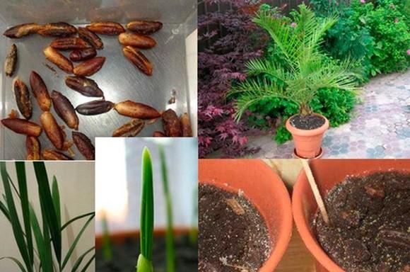 Выращиваем пальму с финиковой косточки в домашних  326