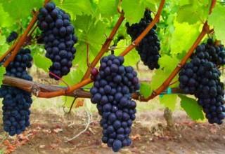 Выращивание винограда в России