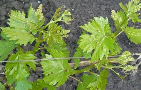 Виноградная тля (филлоксера)