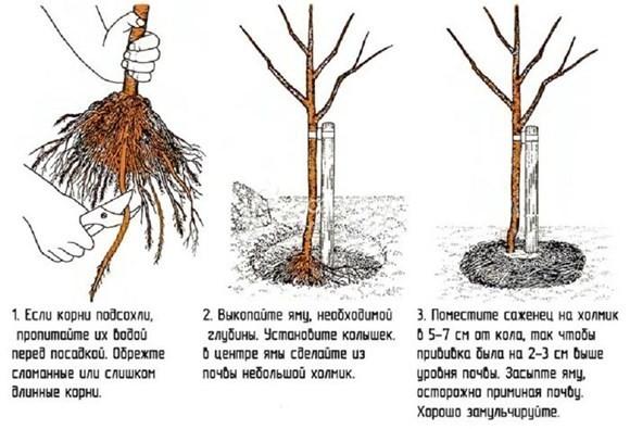 как сажать сажанец груши