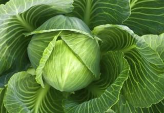Надо ли обрывать листья у капусты