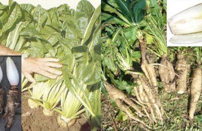 Цикорий и его посев