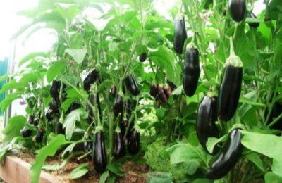 выращивания баклажан в теплице