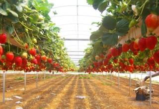 выращиваем клубнику в теплице