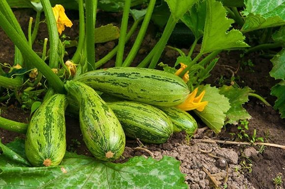 выращивание кабачков фото