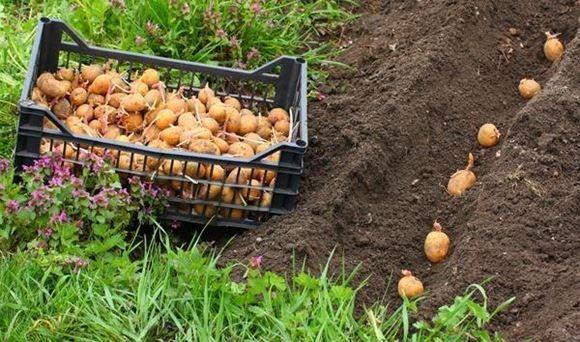 посадка картофеля фото