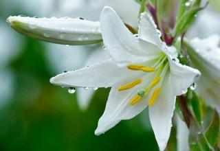 размножаем лилии