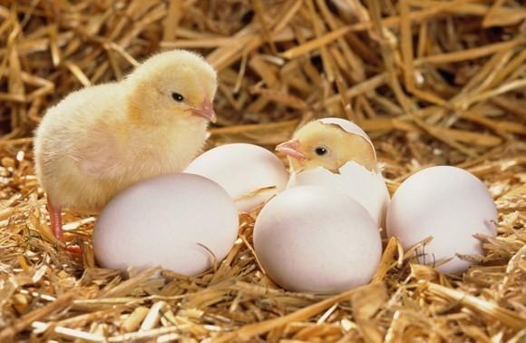 яйца для выведения цыплят