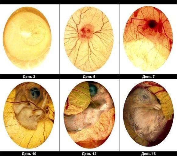формирование зародыша в яйце