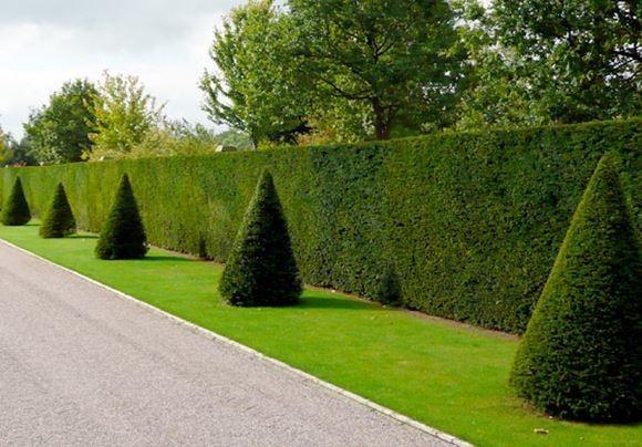 тисовые деревья - живая изгородь