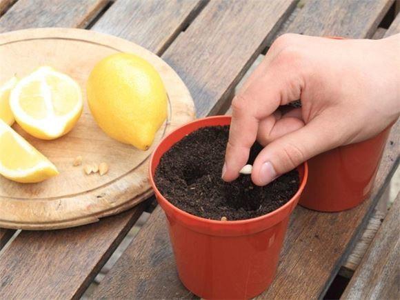 лимон из косточки фото