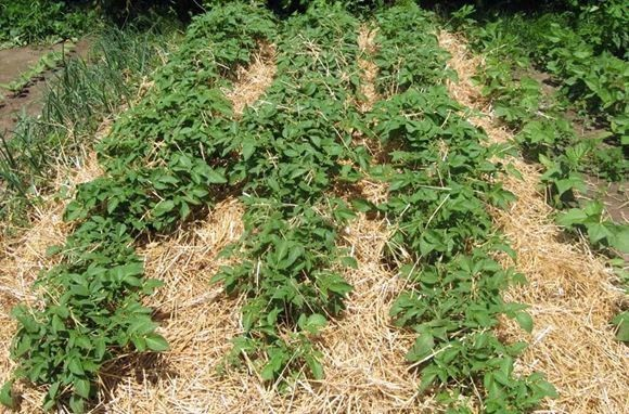 Выращивание картофеля под сеном и соломой 175