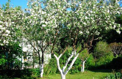 Защита плодовых деревьев от солнечных ожогов