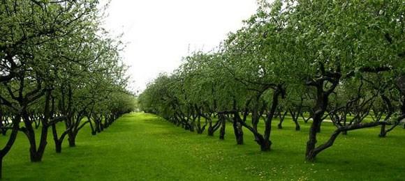 Формирование и обрезка яблони