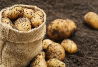 Сажаем ранний картофель