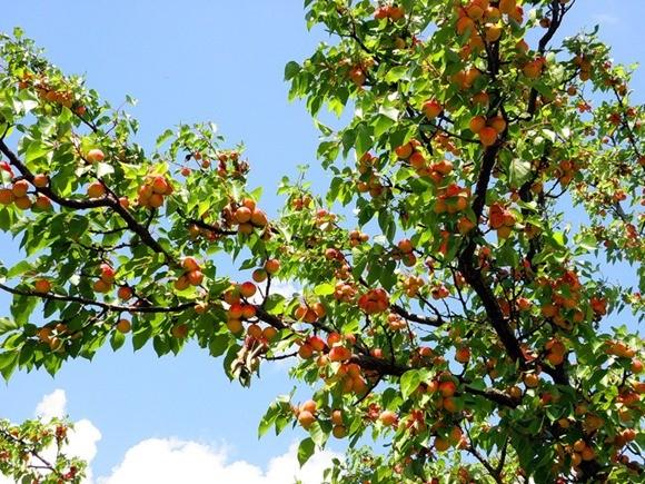 Формирование и обрезка кроны абрикоса
