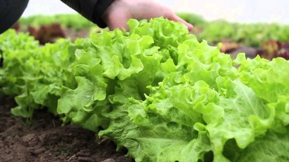 Выращивание салата фото