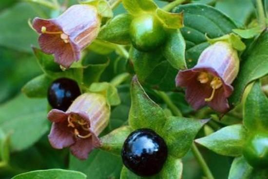 ядовитое растение белладонна