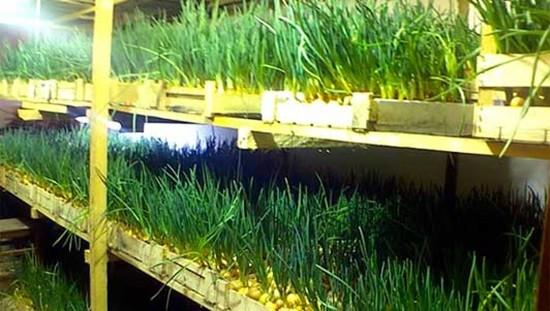 выращивание зеленого лука в теплице