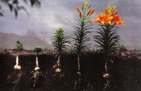 лилии в открытый грунт