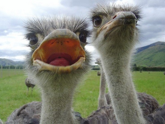 о страусах
