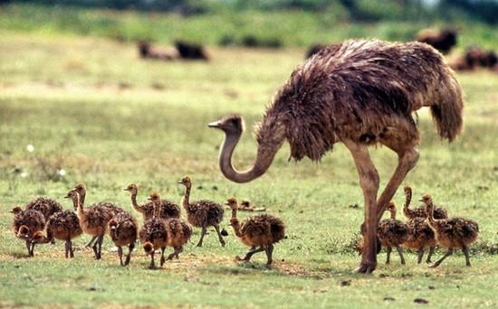 страусы фото
