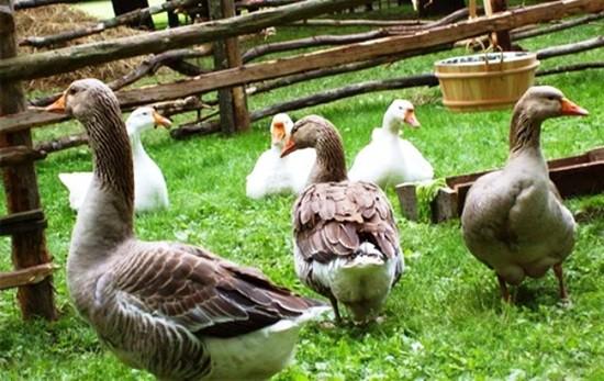 Идея для бизнеса № 49: насколько выгодно разведение гусей?