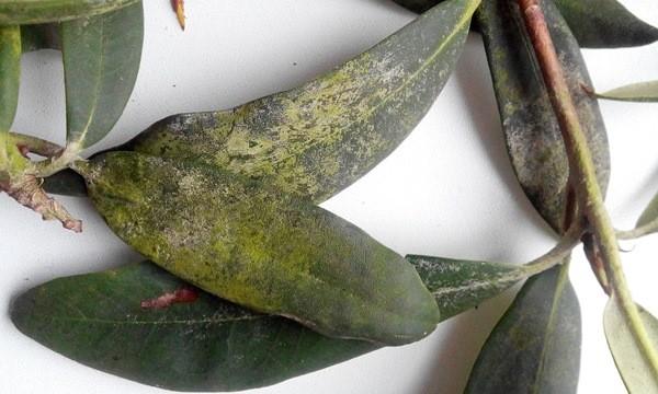 Фото. Трахеомикоз рододендронов
