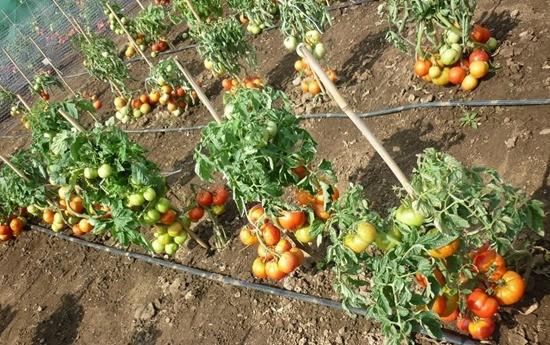 Выращивание помидор в открытом грунте