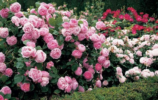пионовидная роза Констанс Спрей