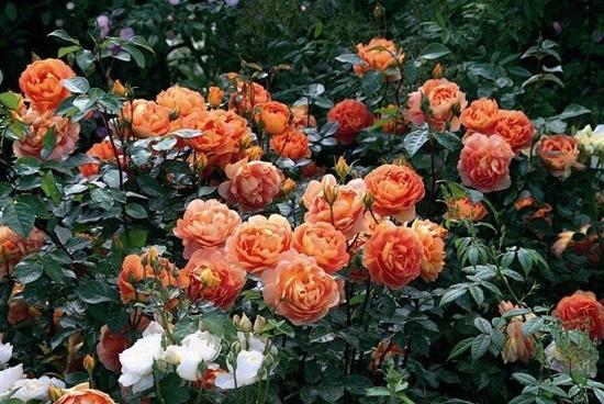 пионовидная роза Пэт Остин