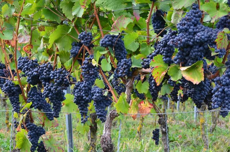 Виноград Ливадийский черный