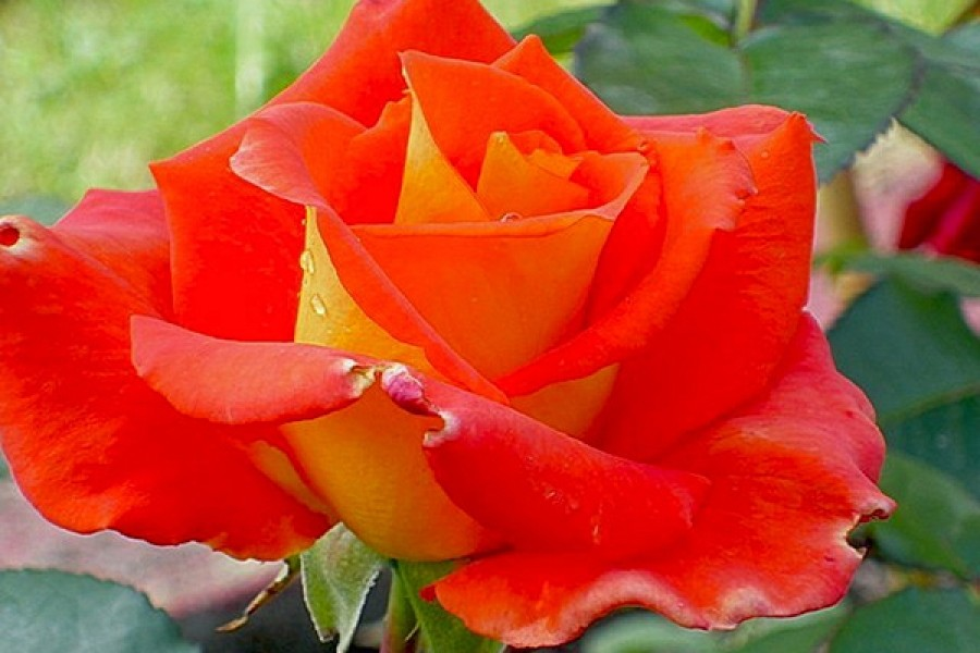 Роза Моника фото