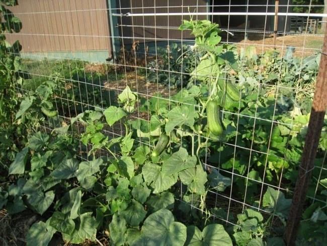 Вертикально поставленная сетка решает множество проблем с агротехникой огурцов