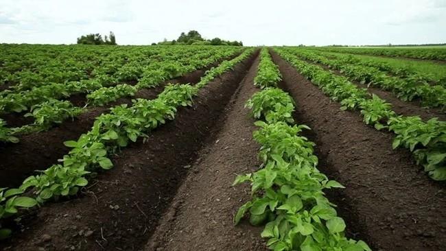 Голландская технология посадки в гребни картофеля_result