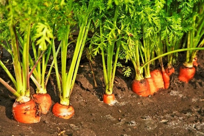 Морковь выращивание в грунте_result