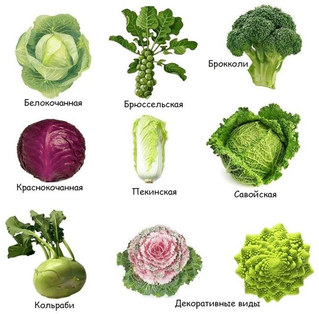 виды и сорта капусты