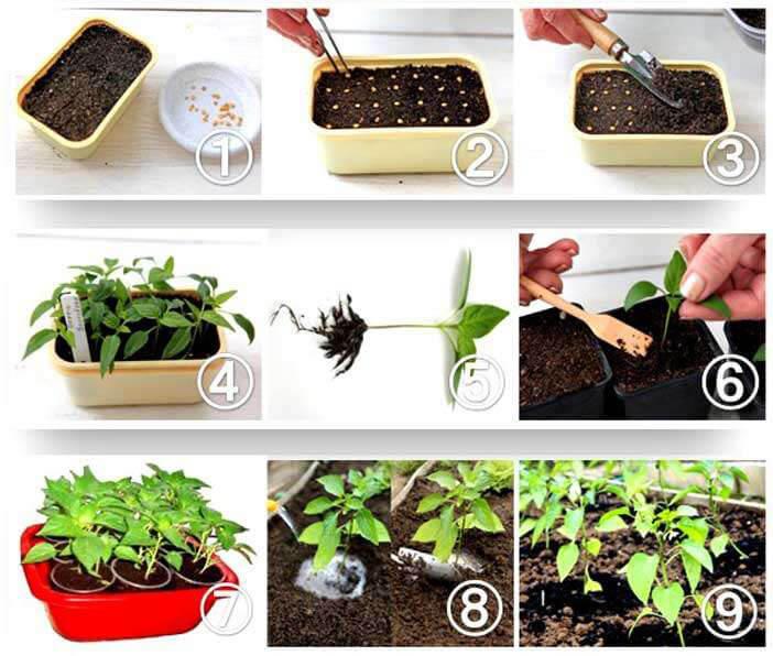 выращивание рассады пошагово