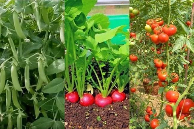 горох редис томаты