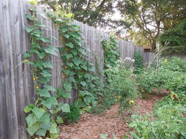 огурцы огурцы растут на заборе