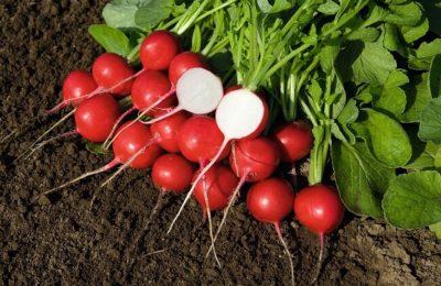 редис выращивание и уход