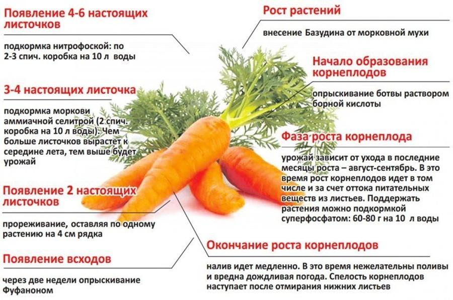 советы по уходу за морковью